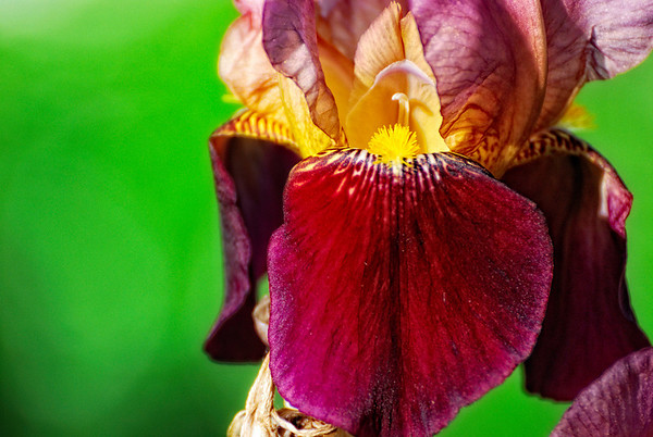 Opening - This is the time of Iris. Even if the day is full, this is healthy to stop and admire beauty. Cheers - JY