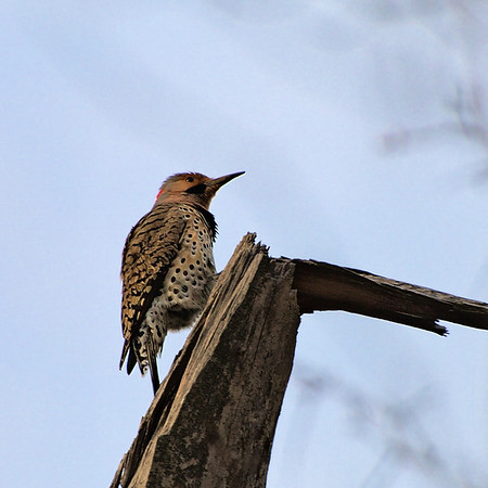 April 21st, 2008. Another facinating woodpecker. I found them most active in the morning and at sunset. This one is certainly a Northern Flicker.