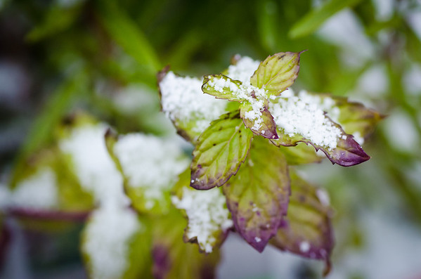 A few  snow flakes on a delicate leaf of mint.