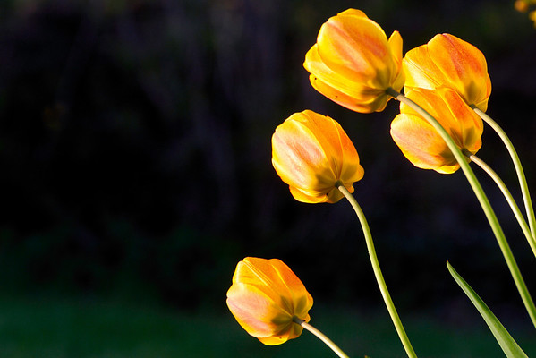 Looking ahead - The tulips are almost over but looking ahead to summer. Cheers - JY