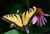 July 22nd, 2008 - A beautiful butterfly feeding, this is a good candidate for the dailies. Have a great day - JY