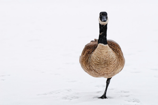 Uno - This poor Canada Geese is handicapped having just one leg. It limits its mobility as it was the only one on this frozen lake. It is able to fly but not too eager to get away. This is the first time I witness this. Cheers - JY