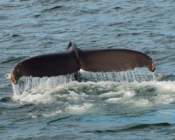 """Aug.14th, 2007 """"The Humpback Whale (Megaptera novaeangliae) is a baleen whale. One of the larger rorqual species, adults range in length from 12–16 metres (40–50 ft) and weigh approximately 36,000 kilograms (79,000 lb). The Humpback has a distinctive body shape, with unusually long pectoral fins and a knobbly head. It is an acrobatic animal, often breaching and slapping the water."""" Souce:Wikipedia.com"""