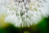 """If dandelions were hard to grow, they would be most welcome on any lawn."" Andrew V. Mason - Their leafs are delicious if picked early Springs. A little bit of butter, garlic and stir fry!"