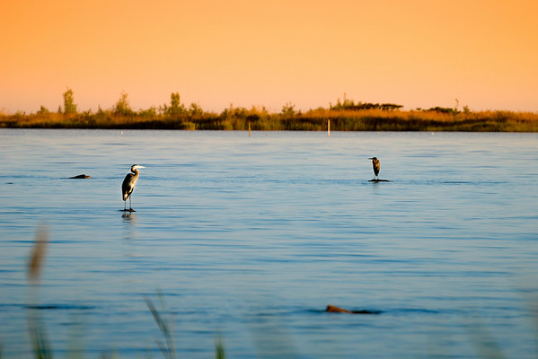 Sunrise - Blue Herons watching the sunrise. I was hiding behind long grass to make sure I would not disturb them. Cheers - JY