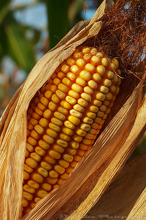 """Oct 7th, 2007<br /> Maize (Zea mays L. ssp. mays; principally known as corn) is a cereal grain that was domesticated in Mesoamerica and then spread throughout the American continents. Maize spread to the rest of the world after European contact with the Americas in the late 15th century and early 16th century. The term maize derives from the Spanish form (maíz) of the Arawak Native American term for the plant. However, it is commonly called corn in the United States, Canada and Australia. Corn is a shortened form of """"Indian corn"""", i.e. the Indian grain. The English word """"corn"""" originally referred to a granular particle, most commonly cereal grains. Hybrid maize is preferred by farmers over conventional varieties for its high grain yield, due to heterosis (""""hybrid vigour""""). Maize is the largest crop in all of the Americas (270 million metric tons annually in the U.S. alone). source: Wikipedia"""
