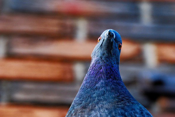 Looking down - This pigeon landed on this store's roof while I was walking. I looked up and it was curious to see my Nikon I must guess! Have a great day - JY