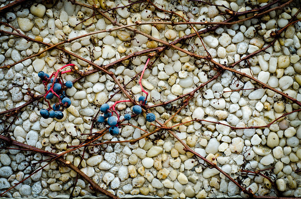 These grapes might be good for ice wine after the frost!