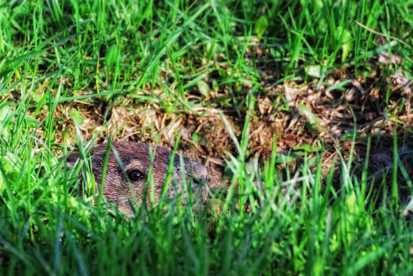 The Observer - I am not too sure if it is a marmot or a muskrat. I believe its tunnel leads to the pond close by. Anyway, it was just there, looking at me right in the lens!