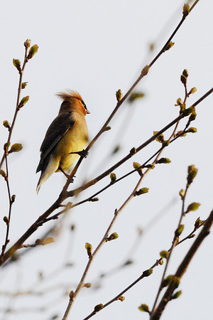 Punk - This is probably my favorite bird, the cedar waxwing. They were in a bunch but not staying still for one second. I am lucky to have this one! Cheers - JY