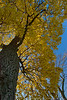 Nov.20th, 2007<br /> The last tree with some leafs. I am not kidding, I raked leafs for 3 hours on Saturday. This tree dropped all the leafs overnight covering the yard. It felt like a cartoon scene where snoopy looks at a tree and all the leafs drop at once :-)<br /> <br /> Have a great day --JY