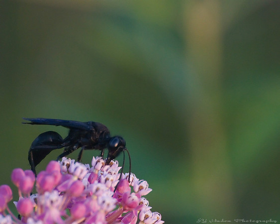 """Aug.6th, 2007<br /> I believe that it is a Great Black Wasp - Sphex pensylvanicus. Apparently non-aggressive but I stayed at the minimum focus distance of my 300mm anyway!  On a different topic, this is """"Civic Holiday"""" in some Canadian Provinces today. <br /> <br /> """"John Graves Simcoe was more than just a colonial governor -- he abolished slavery, created Yonge Street, and even inspired the agricultural fair tradition that would give rise to the Royal Agricultural Winter Fair.<br /> In 1869 Toronto City Council came up with the idea for a summer """"day of recreation."""" In 1875, it was settled: the first Monday in August would be the official Civic Holiday"""". Source  <a href=""""http://www.toronto.com"""">http://www.toronto.com</a>"""