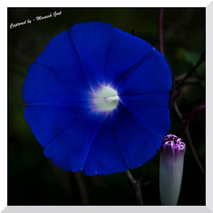 Nature's Gramophone - Ipomoea Nil (Morning Glory)