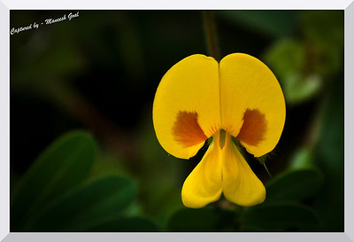 Smithia Hirsuta - also called the Mickey Mouse flower!