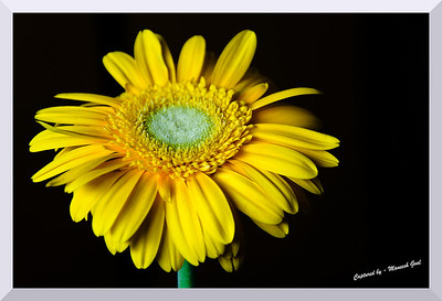 Gerbera Daisy