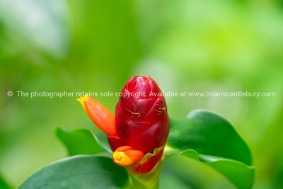 Red button ginger flower