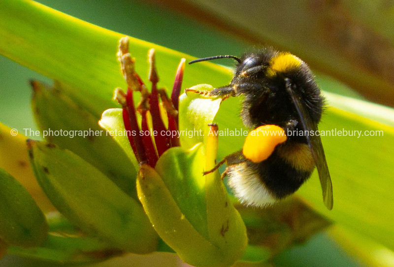 Bee on New Zealand flax flower close-up