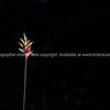 Yellow and red heliconia flower on black background