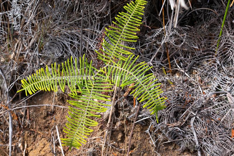 Tangle fern on forest floor on Kaitoke Hot Springs Track