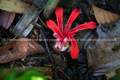 Bright red ginger flower