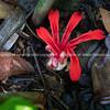 Bright red ginger flower