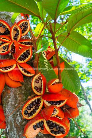 peanut tree bright orange seed pods
