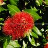 Pohutukawa in bloom, New Zealand Christmas tree.