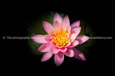 Pink lotus flower on black.