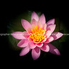Pink lotus flower on black.