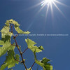 Grape vine under the sun series growing against blue sky and sun flare high in sky