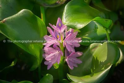 Purple water hyacinth flower
