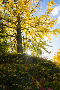 Golden tree and sunburst