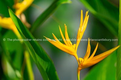 Bright heliconia flower golden torch