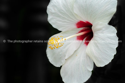 Stunning white red and yellow hibiscus.