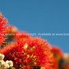 Pohutukawa flower on blue sky.