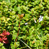 Scarlet Snowberry Gaultheria crassa