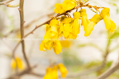 Bright yellow kowhai flower