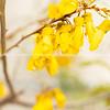 Bright yellow kowhai flower