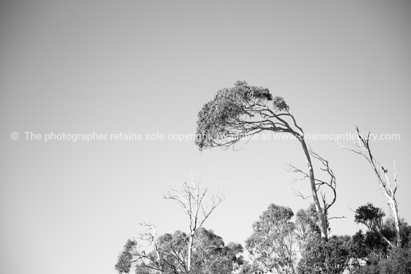 Wind blown eucalyptus tree in black and white.
