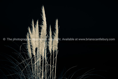 Pampas Grass in flower  split toned and black background.