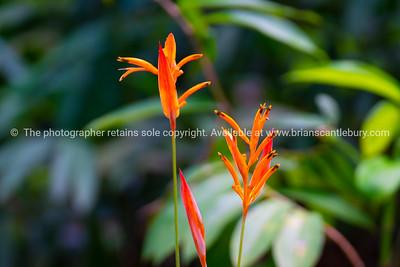 Bright orange heliconia flower