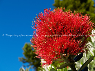 Pohutukawa bloom, close up.