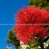 Pohutukawa bloom, close up.