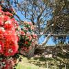 Pohutukawa in flower on base  Mount Maunganui.