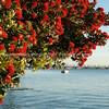 Pohutukawa bloom aver Tauranga Harbour.