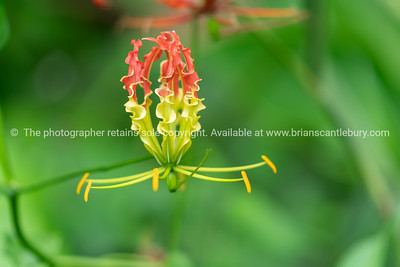 Flame lily in selective focus