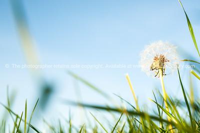 Maungatuatari slopes, Green field closeup with dandelion seed head.