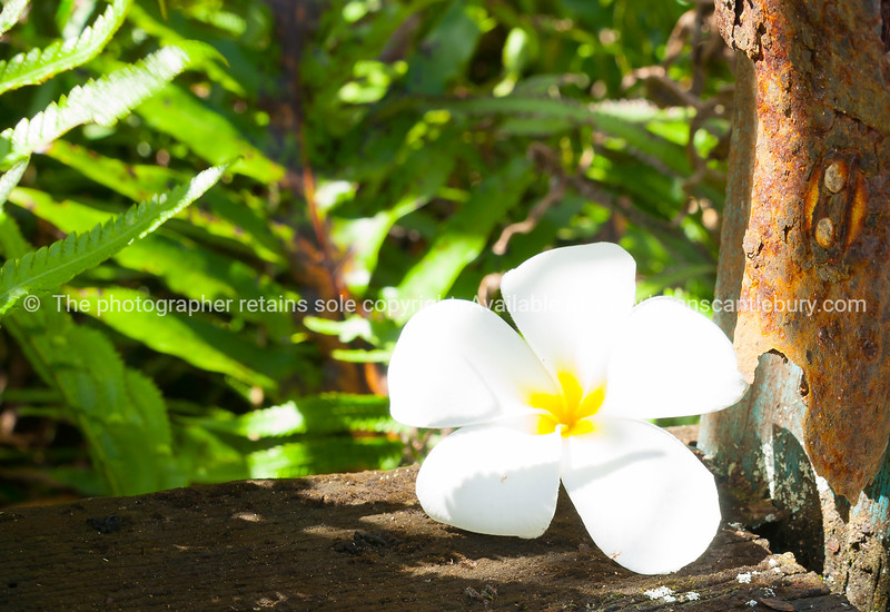 delicate white frangipani flower on window sill of abandoned remains of old home with tropical view through window.