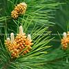Pine tree flower closeup