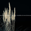 Pampas Grass in flower (14 of 17)-2